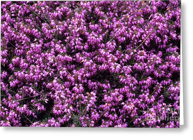 Carnea Greeting Cards - Heather thomas Kingscote Flowers Greeting Card by Adrian Thomas
