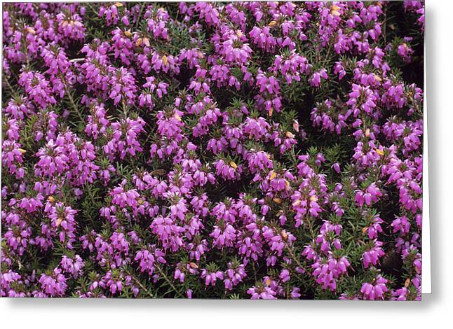 Carnea Greeting Cards - Heather winter Beauty Flowers Greeting Card by Adrian Thomas