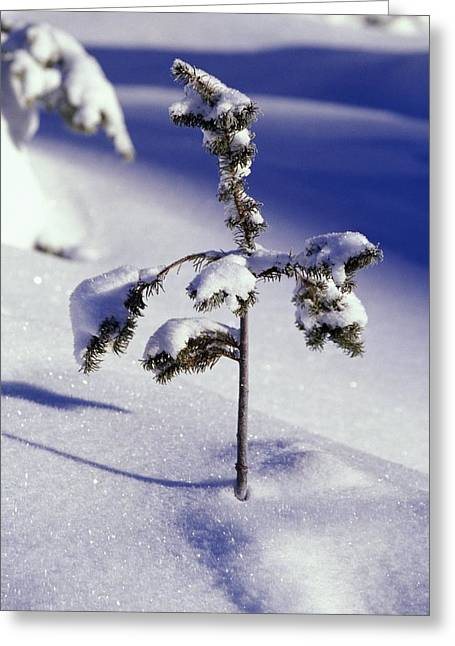 Resilience Greeting Cards - Heavy Snow On Young Pine Tree Greeting Card by Natural Selection Craig Tuttle
