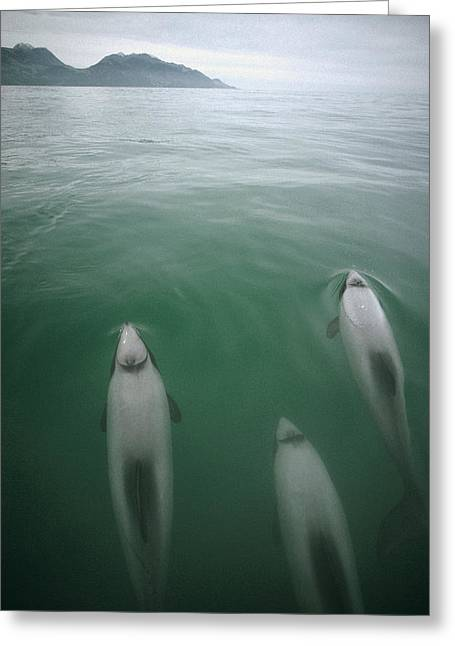 Delphinidae Greeting Cards - Hectors Dolphin Cephalorhynchus Hectori Greeting Card by Tui De Roy