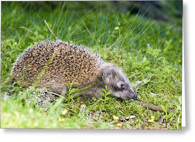 Forest At Night Greeting Cards - Hedgehog Foraging At Night Greeting Card by Duncan Shaw