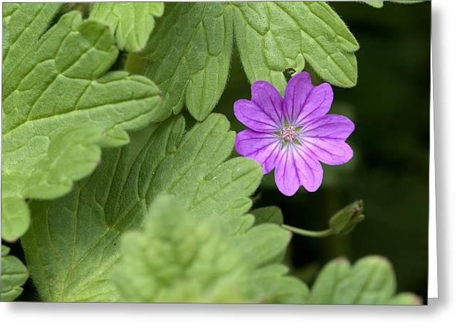 Purple Geranium Greeting Cards - Hedgerow Geranium (geranium Pyrenaicum) Greeting Card by Adrian Bicker
