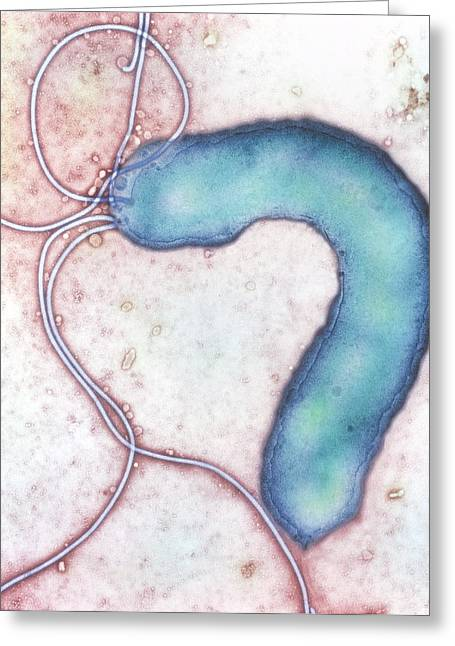 Campylobacter Pyloridis Greeting Cards - Helicobacter Pylori Bacterium Greeting Card by Nibsc