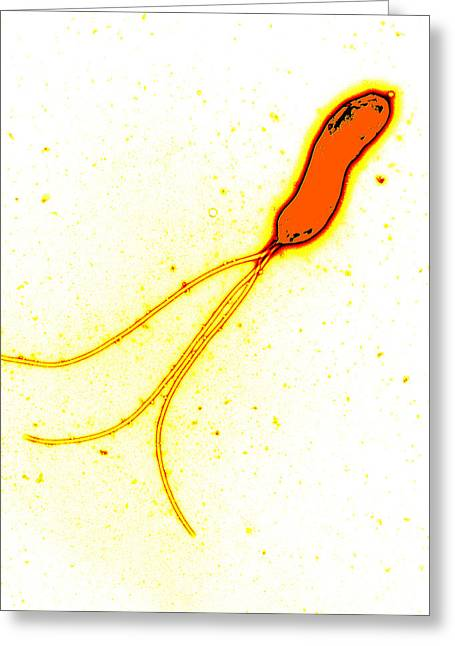 False-colour Greeting Cards - Helicobacter Pylori Bacterium, Tem Greeting Card by