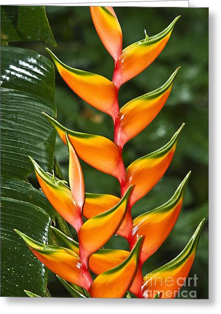 Heliconia Greeting Cards - Heliconia bihai Peachy Pink Greeting Card by Heiko Koehrer-Wagner