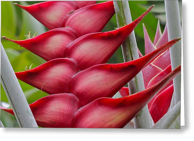 Heliconia Caribea Greeting Card by Kelly Headrick