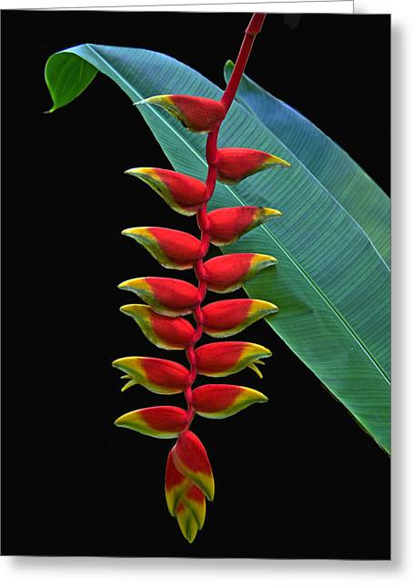 Heliconia Greeting Cards - Heliconia Greeting Card by Larry Linton