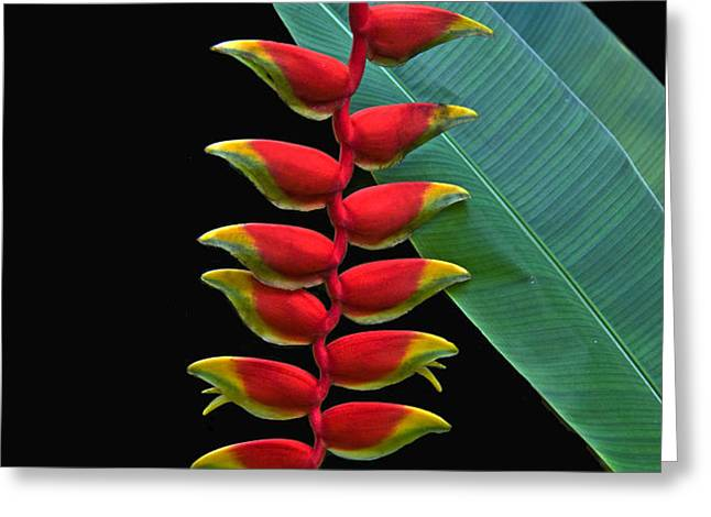 HELICONIA Greeting Card by Larry Linton