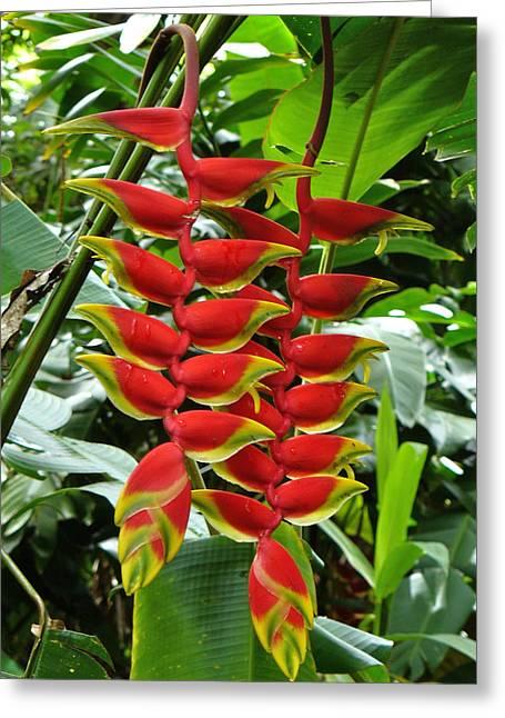 Waimea Falls Greeting Cards - Heliconia Rastrada 2 Greeting Card by Kelly Headrick