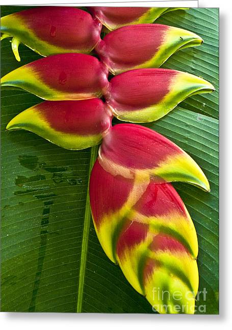Heliconia Greeting Cards - Heliconia rostrata II Greeting Card by Heiko Koehrer-Wagner