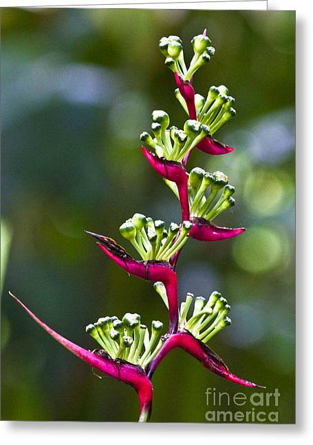Heliconia Greeting Cards - Heliconia subulata Greeting Card by Heiko Koehrer-Wagner