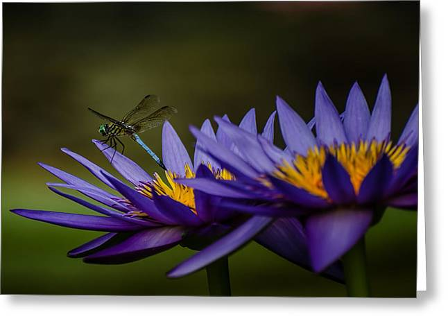 Water Lilies And Insects Greeting Cards - Hello Mr. Dragonfly - Water Lily Greeting Card by Carrie Fleitz