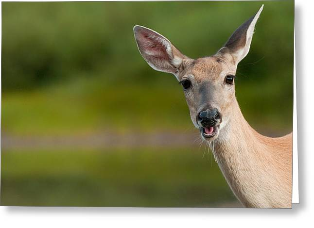 Fawn Greeting Cards - Hello Greeting Card by Sebastian Musial