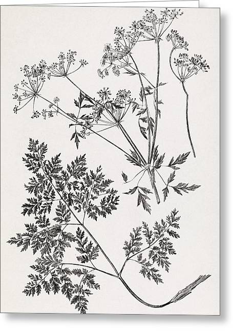 Hemlock, 19th Century Artwork Greeting Card by Middle Temple Library