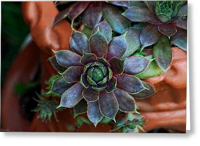 Hens And Chicks Photography Greeting Cards - Hen and Chicks  Greeting Card by Debbie Portwood