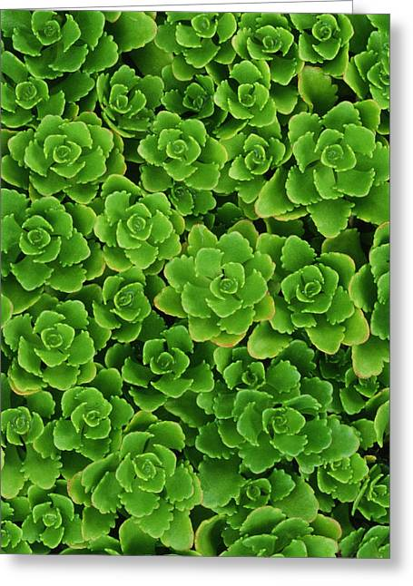 Hens And Chicks Photography Greeting Cards - Hens And Chicks Plants Sempervivum Greeting Card by Mike Grandmailson