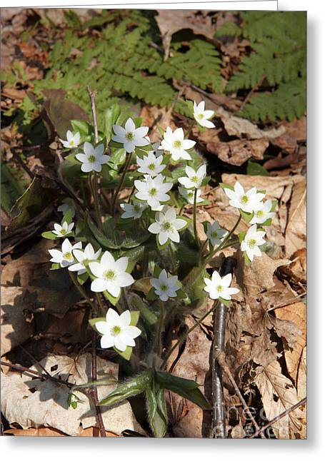 Nobilis Greeting Cards - Hepatica Flowers Greeting Card by Ted Kinsman