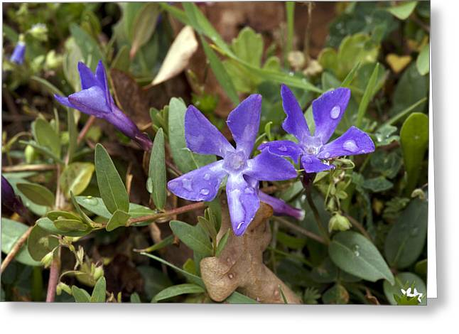 Vinca Flowers Greeting Cards - Herbaceous Periwinkle (vinca Herbacea) Greeting Card by Bob Gibbons