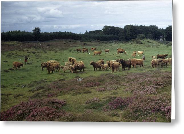 Highlands Of Scotland Greeting Cards - Herders Watch Over West Highland Cattle Greeting Card by B. Anthony Stewart