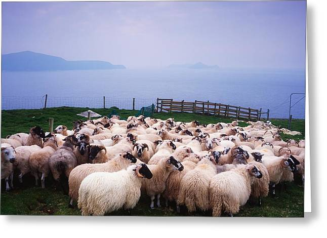 Foggy Day Greeting Cards - Herding Sheep, Inishtooskert, Blasket Greeting Card by The Irish Image Collection