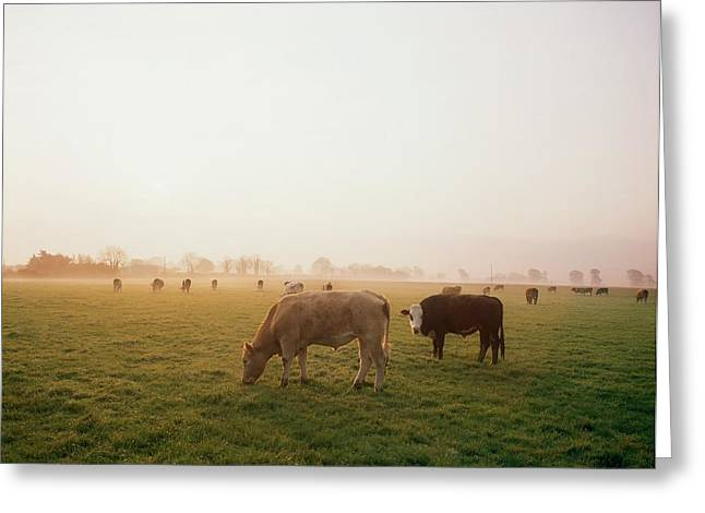 Foggy Day Greeting Cards - Hereford Cattle, Ireland Greeting Card by The Irish Image Collection