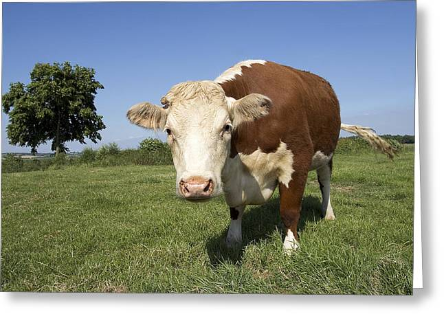 One Cow Greeting Cards - Hereford Cow Greeting Card by Linda Wright