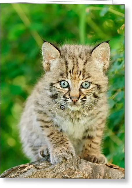Baby Bobcat Greeting Cards - Heres Looking At You Greeting Card by Jeff Wendorff