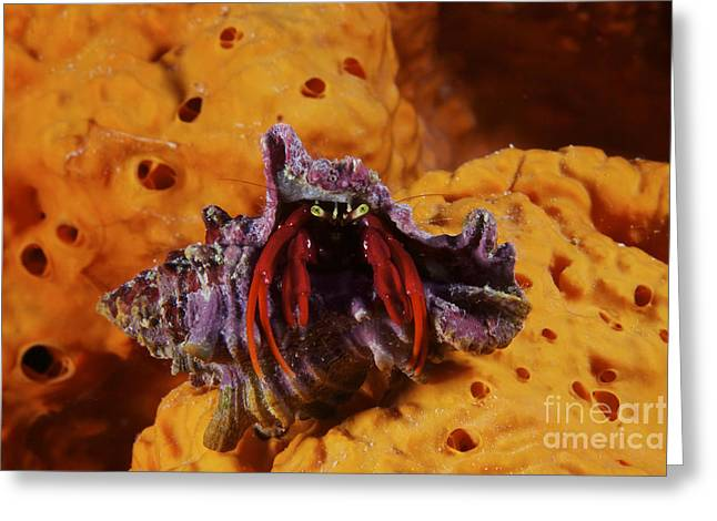 Undersea Photography Greeting Cards - Hermit Crab On A Large Elephant Ear Greeting Card by Terry Moore