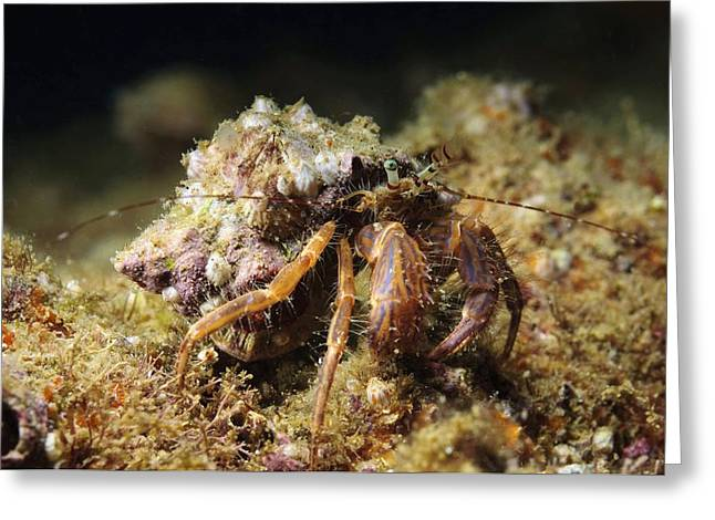 Aquatic Greeting Cards - Hermit Crab Greeting Card by Photostock-israel