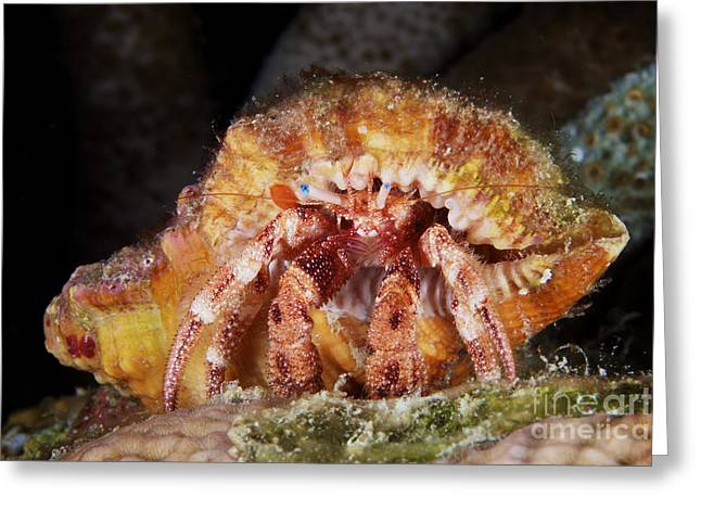 Decapoda Greeting Cards - Hermit Crab Tucked Away Greeting Card by Terry Moore