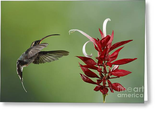 Recently Sold -  - Aperture Greeting Cards - Hermit Hummingbird and red flower Greeting Card by Juan Carlos Vindas