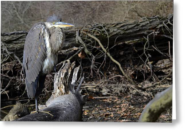 Bird Rookery Swamp Greeting Cards - Heron 2 Greeting Card by Brian Stevens