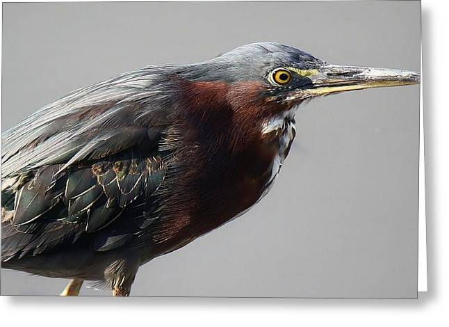 Heron Close Up Greeting Card by Paulette Thomas