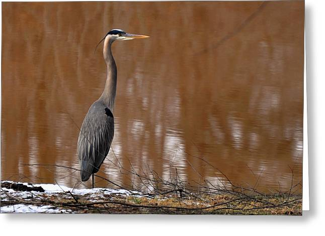 Blue Heron Greeting Cards - Heron Hunting in Winter - c1607h Greeting Card by Paul Lyndon Phillips