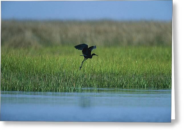 Animals In Action Greeting Cards - Heron In Flight Greeting Card by Stephen Alvarez