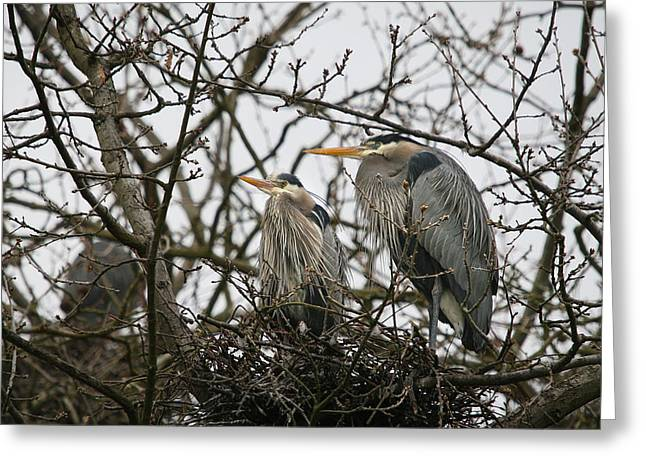Grey Heron Greeting Cards - Heron Nest Greeting Card by Naman Imagery