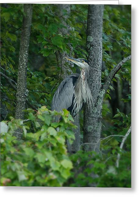 Ohio Pyrography Greeting Cards - Heron on a limb Greeting Card by Shirley Tinkham