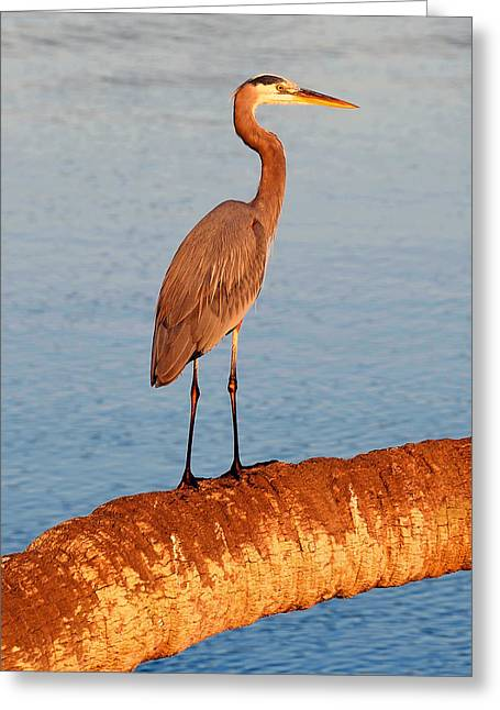 Wildlife Refuge. Greeting Cards - Heron on palm Greeting Card by David Lee Thompson