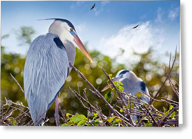Wakodahatchee Greeting Cards - Herons at Rest Greeting Card by Michelle Wiarda