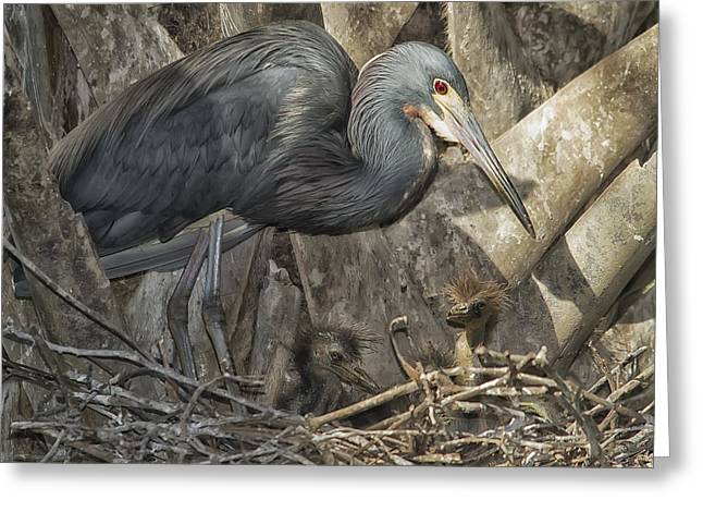 Egretta Tricolor Greeting Cards - Herons Nest Greeting Card by Wade Aiken