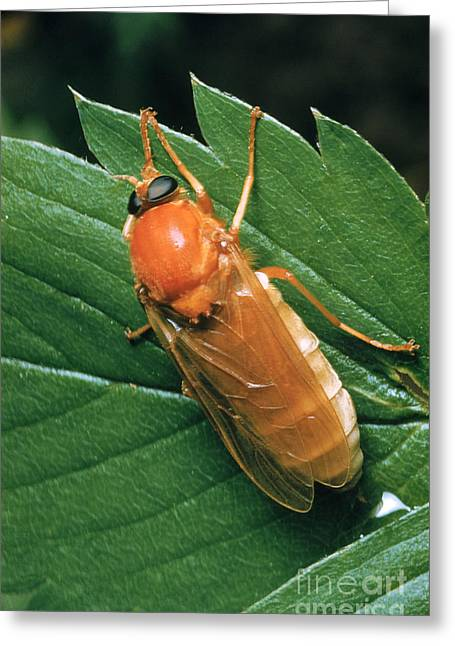Midge Greeting Cards - Hessian Fly, A Gall Midge Greeting Card by Louis Quitt