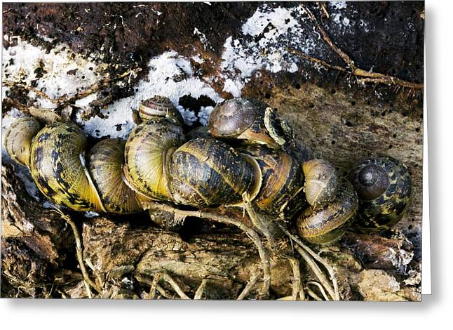 Hibernation Greeting Cards - Hibernating Garden Snails Greeting Card by Dr Keith Wheeler
