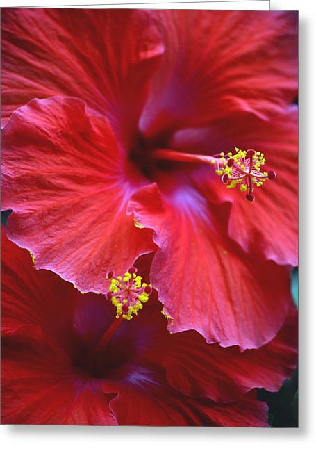 Hibiscus Duo Greeting Card by Sandi OReilly