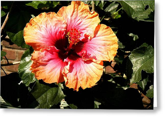 Natural Realm Greeting Cards - Hibiscus Flower Greeting Card by Lisa  Phillips
