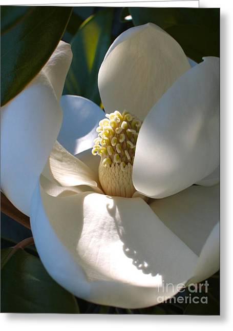 Sunlight On Flowers Greeting Cards - Hidden Magnolia Greeting Card by Carol Groenen
