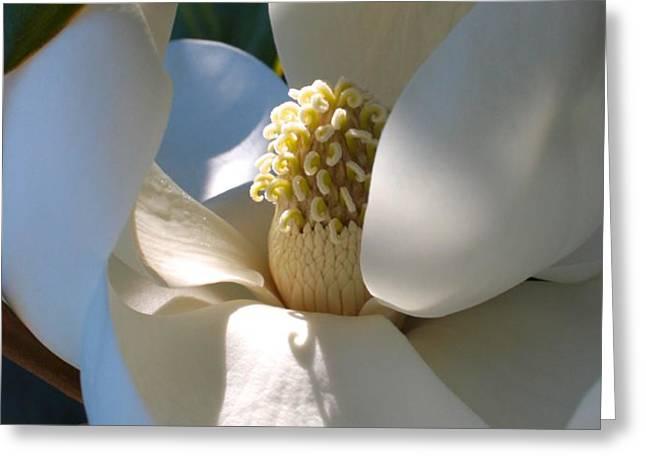 Hidden Magnolia Greeting Card by Carol Groenen