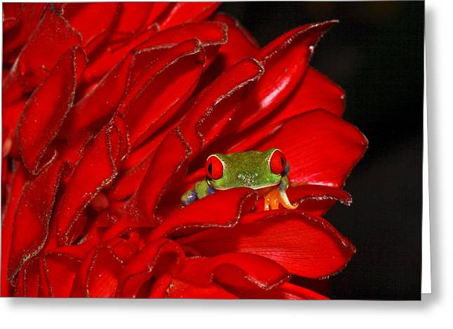 Tree Frog Greeting Cards - Hiding Greeting Card by Tom and Pat Cory