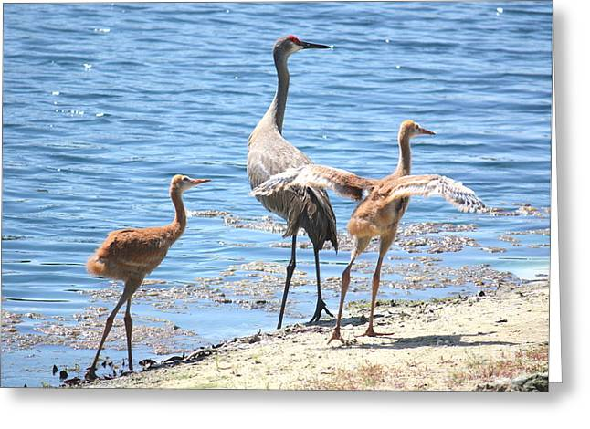 Sandhill Crane Chicks Greeting Cards - High Alert Greeting Card by Carol Groenen