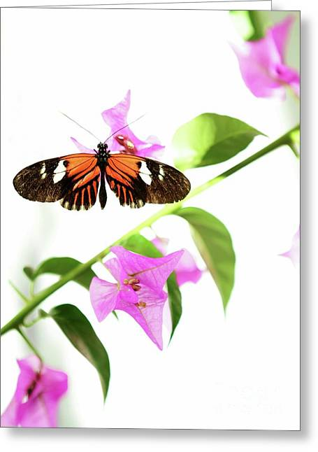 Butterfly In Flight Greeting Cards - High Key Piano Key Butterfly Greeting Card by Sabrina L Ryan