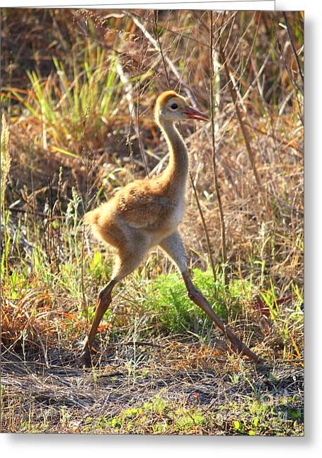 Sandhill Crane Chick Greeting Cards - High Stepping Sandhill Chick Greeting Card by Carol Groenen